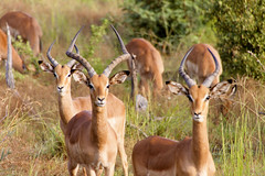 animal, antelope, springbok, mammal, horn, herd, hartebeest, fauna, impala, grassland, safari, gazelle, wildlife,