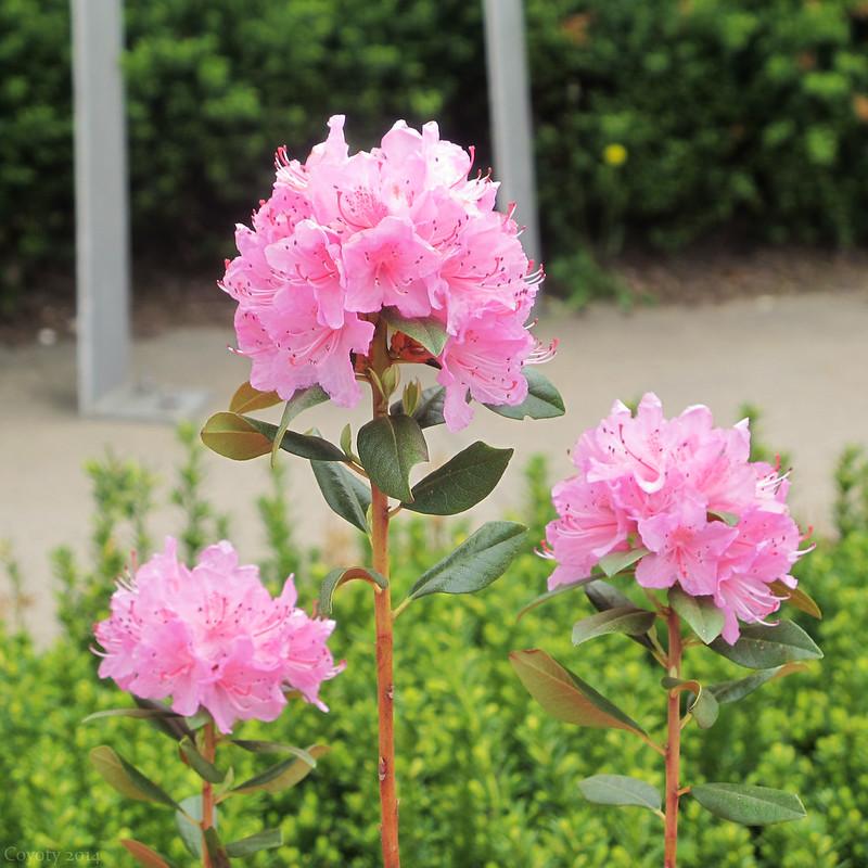 Tunxis courtyard azaleas