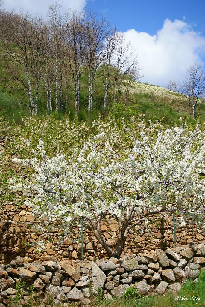 Extremadura-Valle del Jerte-Cerezo en Flor (6)