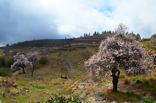 Almond trees in Vilaflor, Tenerife