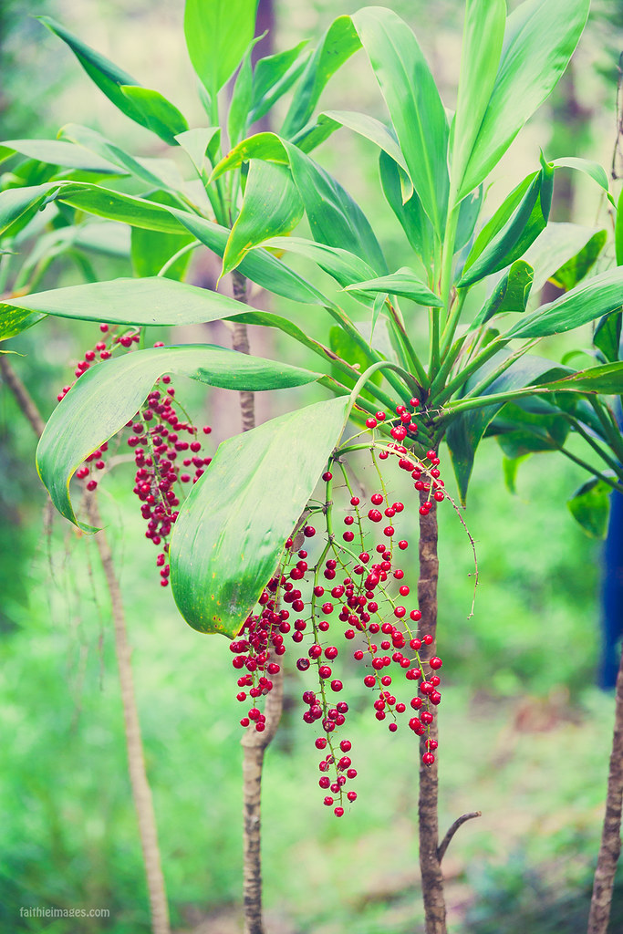 Jungle berries