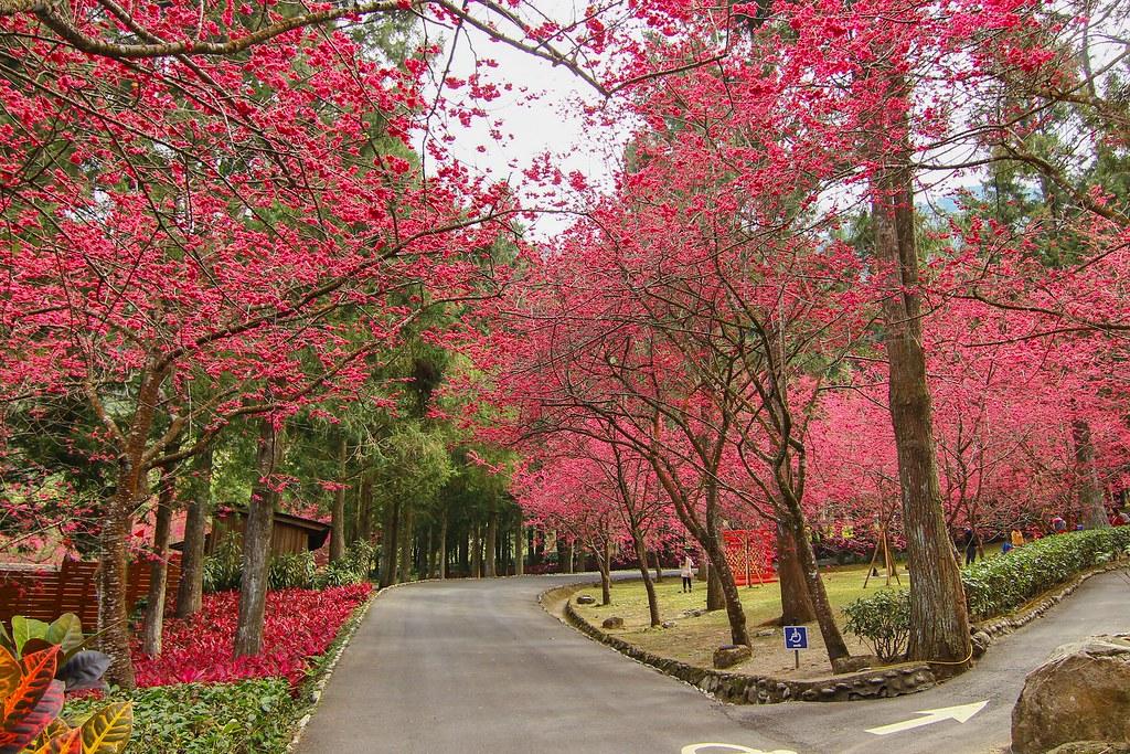 九族櫻花祭 (163)