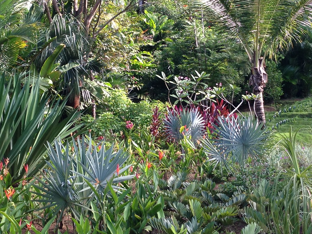 Colorful tropical borders planted with Bismarckia nobilis palms