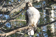 red tailed hawk IMG_1459a