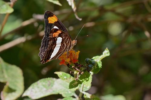 Adelpha fessonia)