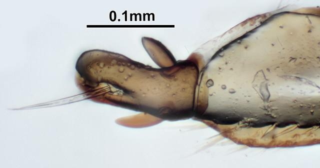 Header of Amara tibialis