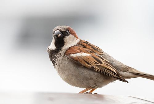 House Sparrow at Bar Harbor