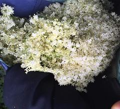 elder pouch-- for making elder collection of elder flowers for elder syrup. greenhorns love our elders #wildcraft