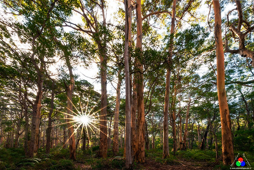 Karri forest sunstar, Boranup NP, Western Australia by Douglas Remington - Ethereal Light® Photography