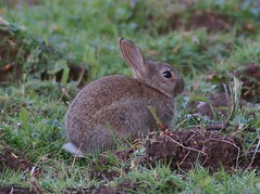 animal, hare, grass, rabbit, domestic rabbit, pet, fauna, wood rabbit, rabits and hares, wildlife,