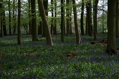 Ashridge Bluebell Season