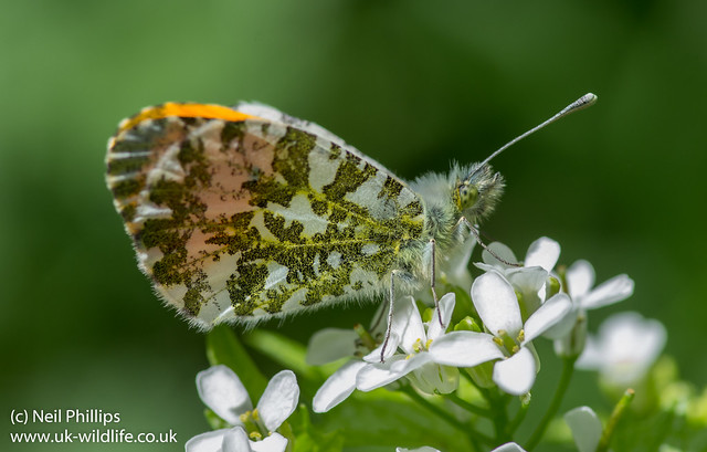 orange tip butterfly male Anthocharis cardamines-2