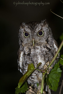 Eastern Screech Owl ~ On the Hunt