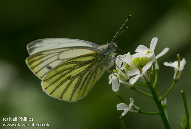 Green-veined white Pieris napi on garlic mustard flower
