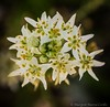 Fremont's Star Lily wildflower