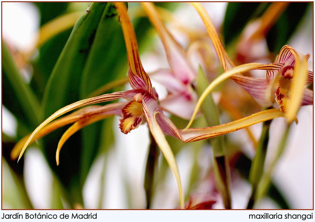 maxillaria shangai
