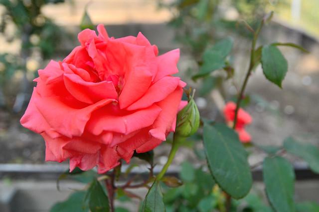 Photo:藤が丘駅前公園のバラ(ハーモニー) (Rose of Fujigaokaekimae Park) By Dakiny