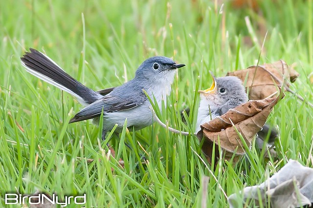 BIRD-BlueGrey-GnatCatcher-2408