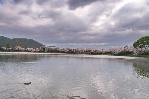 【写真】2013 桜 : 大覚寺/2020-09-15/IMGP9421