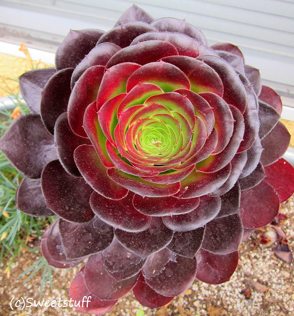 Aeonium 'unnamed'