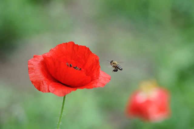 poppy and the bee