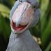 shoebill by marigold27