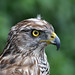 GOSHAWK by IrishRedKite