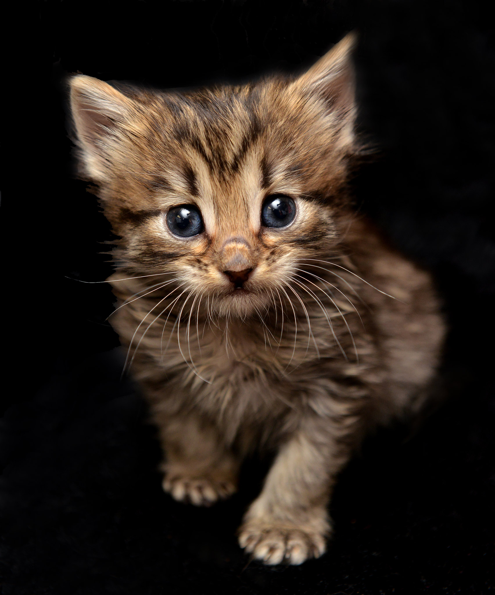 Long-Hair Tabby Baby by Josh Norem
