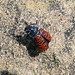 Small photo of Lachnaia variolosa. Chrysomelidae