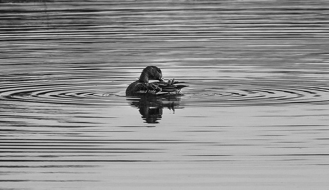 Topsham-Duck in circles-BW-6981