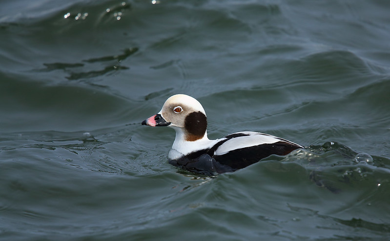 Long-tailed duck [drake]