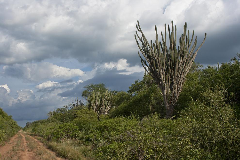 Cactus y Algarrobos conforman mayormente la flora del Alto Chaco, sin embargo es sorprendente la cantidad de otras especies que pueden ser clasificadas en este tipo de ecosistema. (Andrea Ferreira)