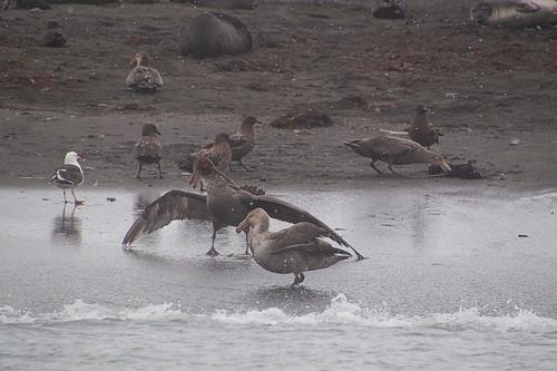 211 Skua, reuzenstormvogel en kelpmeeuw