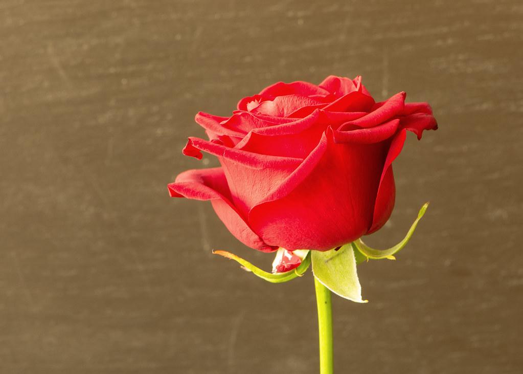 Photo:A rose. By:hypotekyfidler.cz