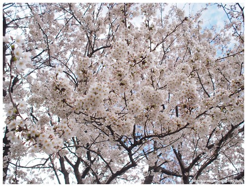 Cherry blossoms 140404 #01