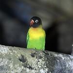 Masked Lovebird