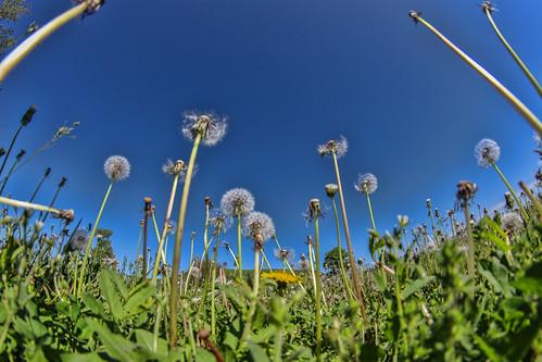 flowers sky nature illinois midwest may worldheritagesite fisheye 325 dandelions 2014 cahokiamounds eosm rokinon cahokiamoundsstatepark