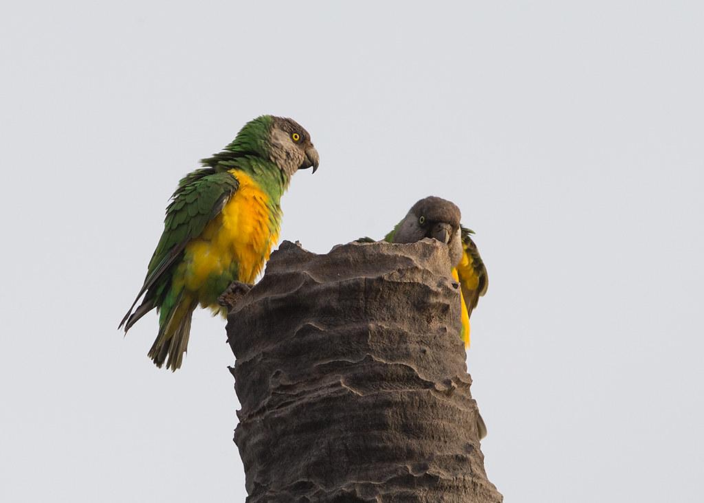 Senegal Parrot Gambia