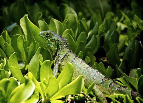 Iguana on the Hedge