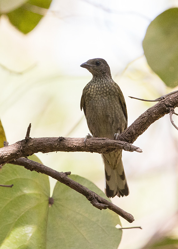 Spotted Honeyguide   Gambia
