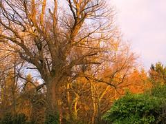 Lygan-y-Wern: trees in evening glow