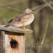 Wood Duck female on nest box Tekiela IE6S9176