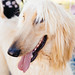 Small photo of Afghan hound