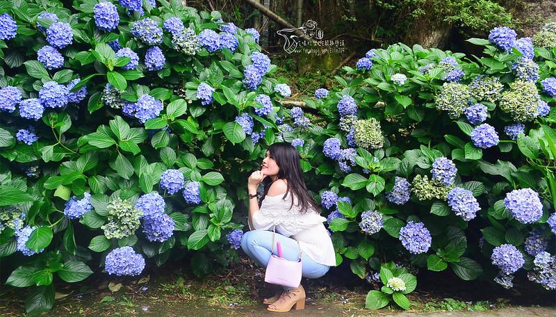 繡球花 (22)
