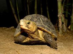 資料照片,翡翠水庫的食蛇龜,翡翠水庫管理局提供。