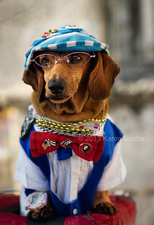 The Infamous Havana Doxie