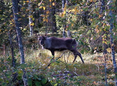 animal, woodland, deer, nature, moose, fauna, forest, wilderness, wildlife,