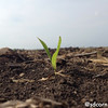 Emerging corn south of Revillo, SD.