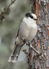 Gray Jay by vees photo art gallery