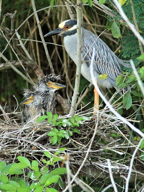 Yellow-crowned Night-Heron nestlings at nest 22 2-20130527